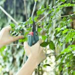 Pruning a tree with hand shears
