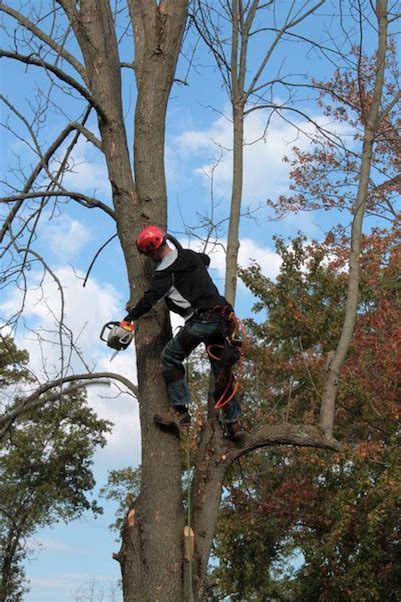 Arobrist trimming a maple tree